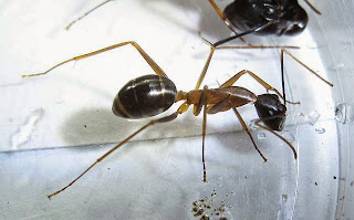 Camponotus minor worker