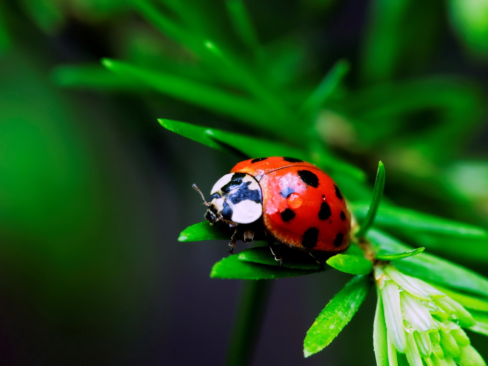 Lady Bug Nude Photos 6