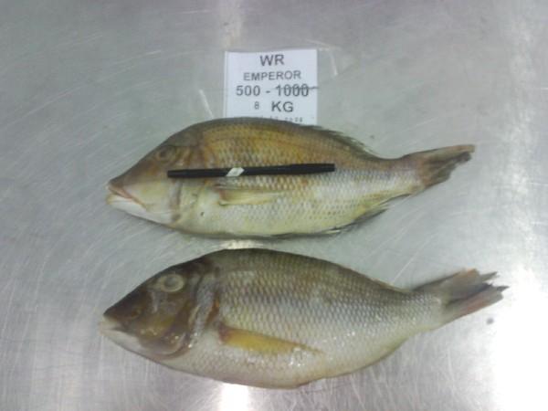 Ikan Lencam Lethrinus Sp Artikel Sudarminto Setyo Yuwono