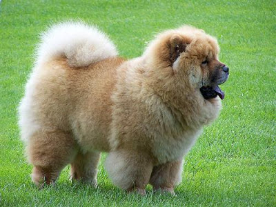 Ras anjing Chow chow dengan karakter tempramental