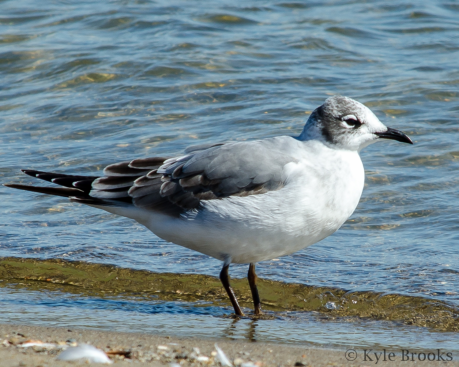 Franklin's Gull Ohio