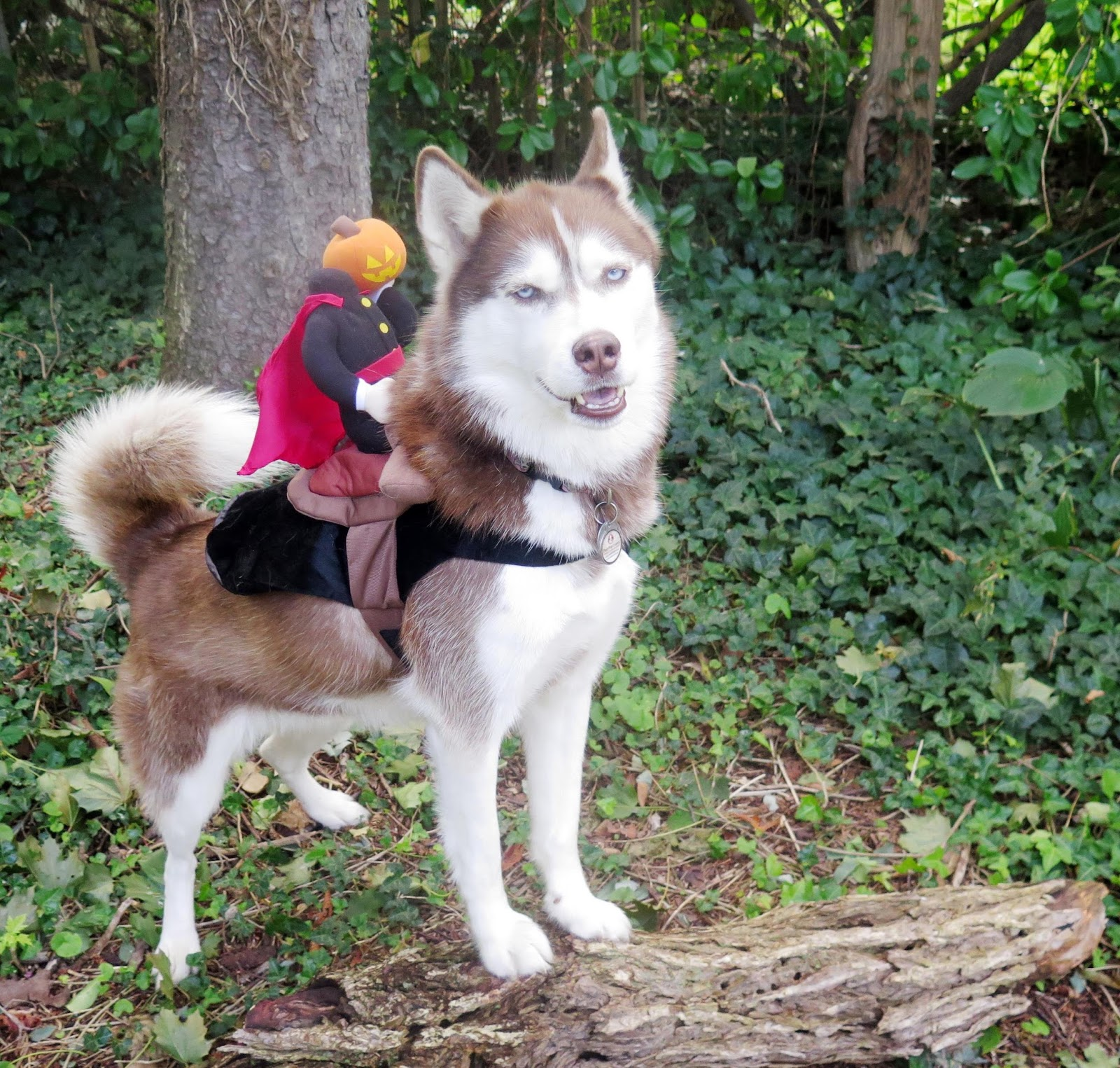 this style of super simple pet halloween costume is easy not uncomfortable for many pets