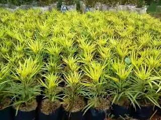 http://www.jasa-tukangtaman.com/2017/03/jual-pohon-ararea-aralea-tanaman-semak.html