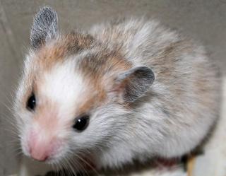 ng mini menciptakan hamster gampang untuk dibawah kemana Kabar Terbaru- NAMA ILMIAH DAN KLASIFIKASI HAMSTER