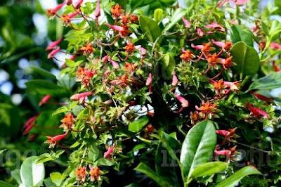 Flor de pitito Tropaeolum pentaphyllum
