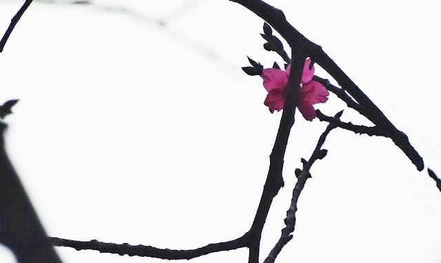 櫻花盛開過程縮時攝影記錄