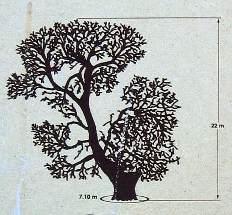 negron-chopo-vallanca-caracteristicas