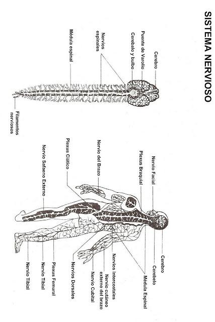 Albun De Sistema Nervioso Imagui