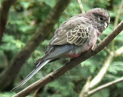Periquito rosado: Neopsephotus bourkii