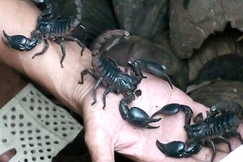 Hướng dẫn kỹ thuật nuôi bọ cạp