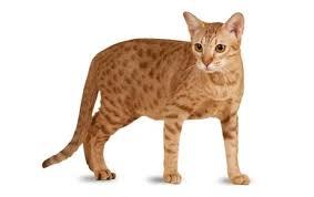 Kucing Ocicat dan Karakteristiknya