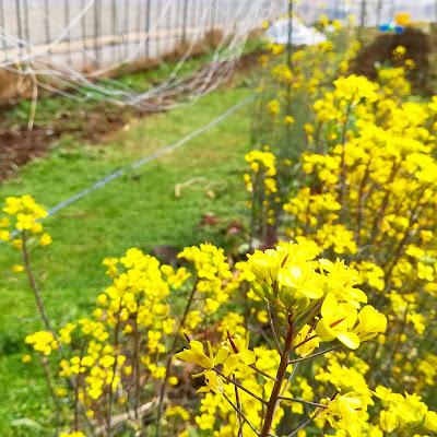 ハウスの春