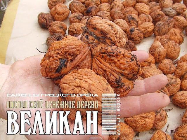 Грецкий орех Великан, 0957351986, 0985674877, Walnuts Broker