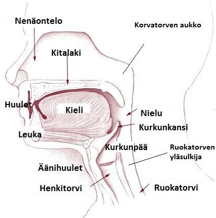 Kurkku Anatomia