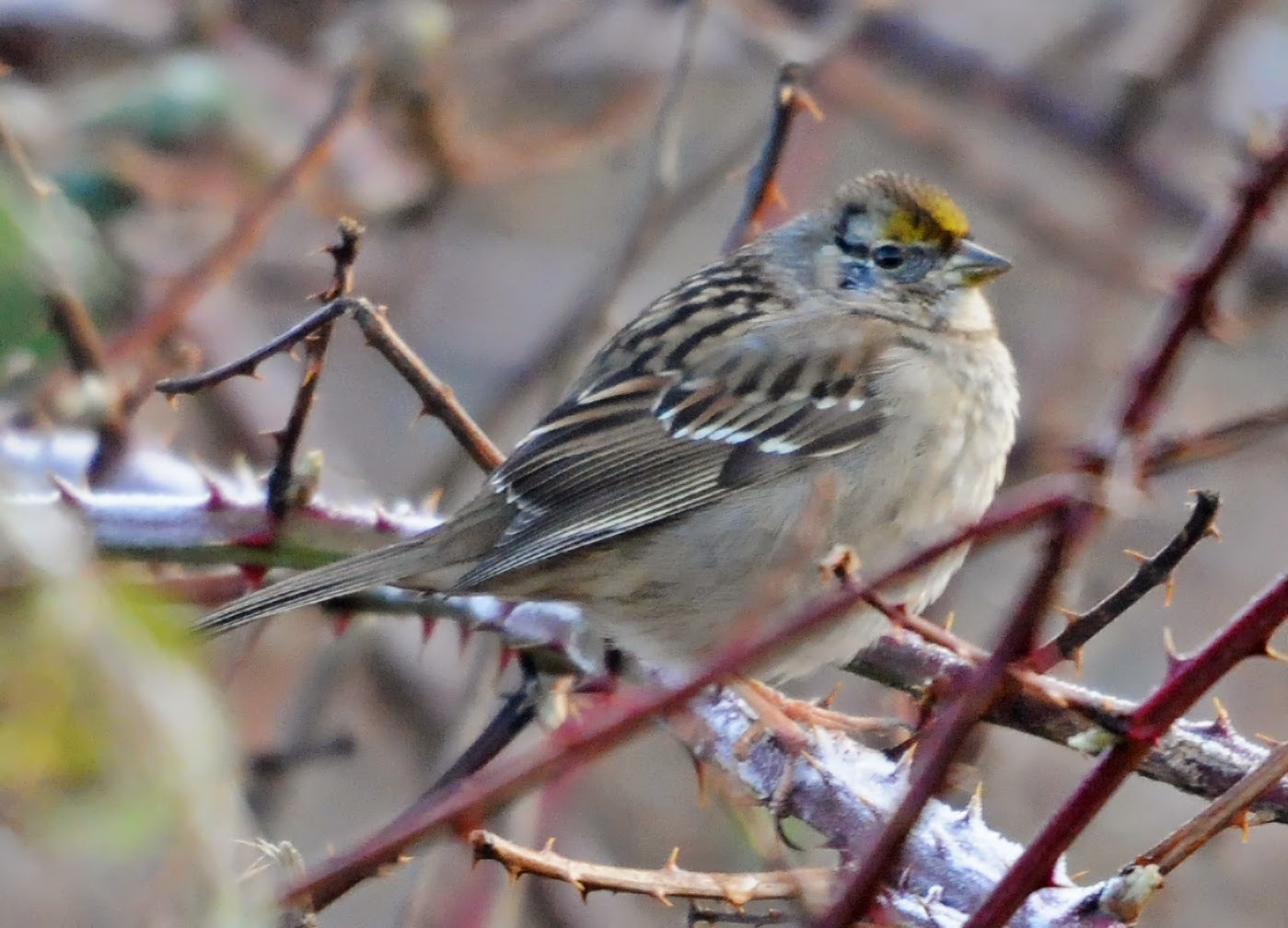 Bird Hybrids: White-crowned Sparrow x Golden-crowned Sparrow