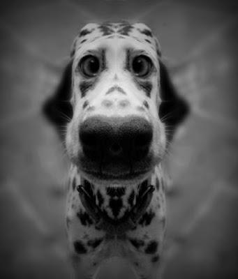 Dalmatian nose funny picture