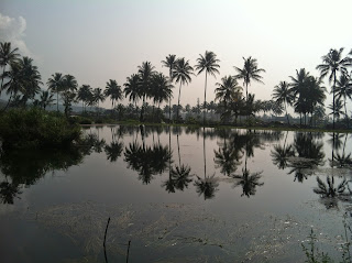 Foto pohon kelapa di Cipanas Garut