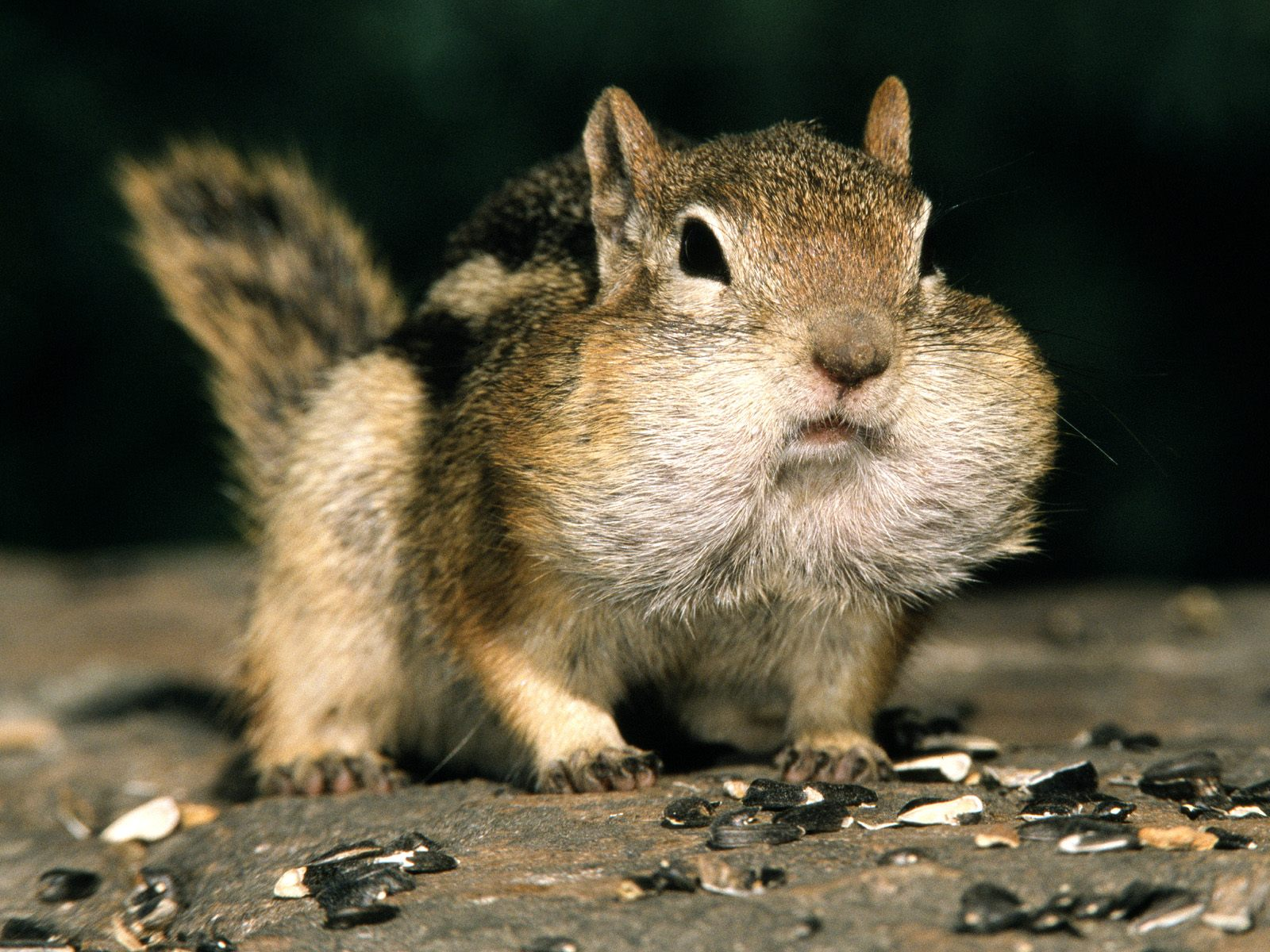 Funny squirrels pictures for widescreen funny animal - Funny squirrel backgrounds ...