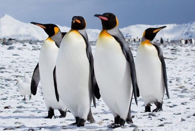 Οι -30 βαθμοί Κελσίου κράτησαν ακόμα και τους βασιλικούς πιγκουίνους στη ζέστη