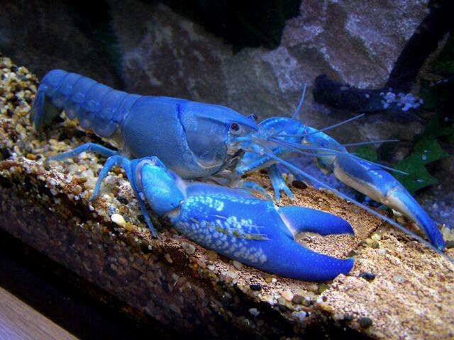 Camarão e Lagosta Azul