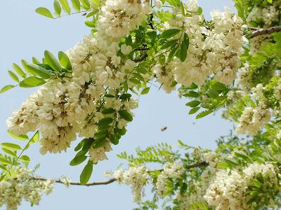 Hoa hòe có tác dụng kích thích lượng máu, giảm cholesterol, bảo vệ thành mạch