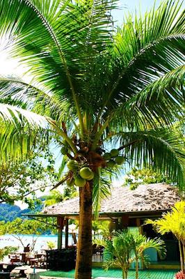 Cultivo do Cocos Nucifera ou coqueiro