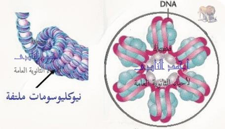 تكثيف الحمض النووى ديؤكسى ريبوز dna - البروتينات الهستونية - النيوكليوسومات