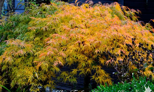 Fächerahorn im Herbst