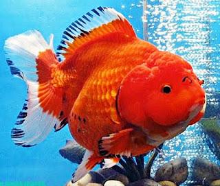 Gambar Ikan Mas Koki Jumbo