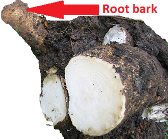 moringa root back