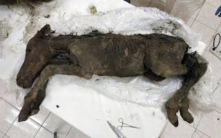 Βρέθηκε άλογο ηλικίας 42.000 ετών που περιείχε υγρό αίμα