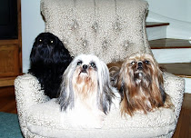 The 3 Shih Tzus