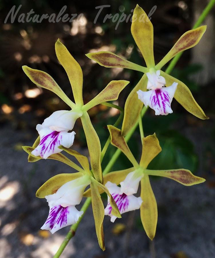 Flores de la orquídea cubana Encyclia sabanenis