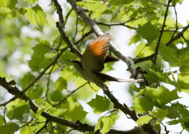 Yellow-billed Cuckoo - America