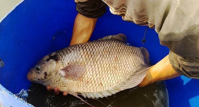 Pemeliharaan Induk Ikan Gurame - Budidaya Ikan