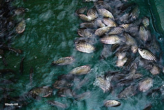 ikan gurami siap panen