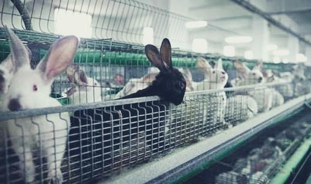 usha ternak budidaya kelinci potong