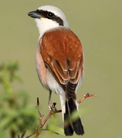 Birds of India - Photo of Red-backed shrike - Lanius collurio