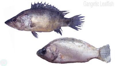 gangetic leaffish, ভেদা মাছ