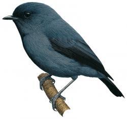 Blue-grey Robin