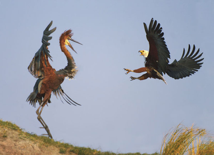 Goliath Heron Bird Facts And Pictures All Wildlife