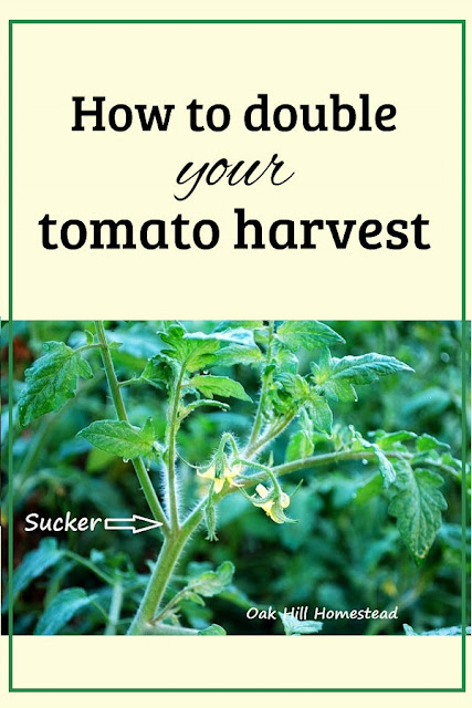 You can double your tomato harvest by growing more plants, and here's how to do it for FREE!