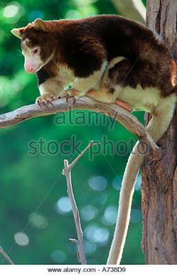 Dendrolagus matschiei