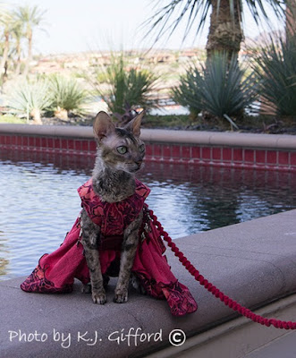 Coco the Cornish Rex at BlogPaws at the Westin Lake Las Vegas Resort