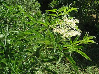 Sauco (Sambucus nigra)