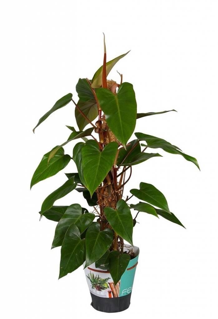 Keindahan Tanaman Hias Philodendron Yang Menghijaukan Halaman