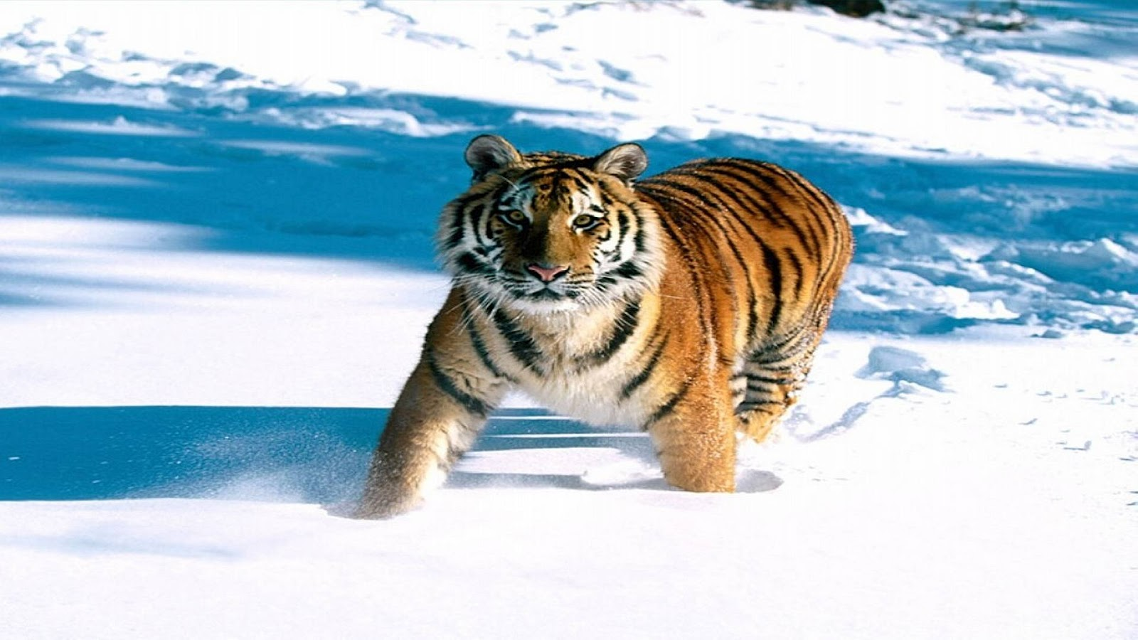 Aninimal Book: Top 35 Most Beautiful Tiger Wallpapers