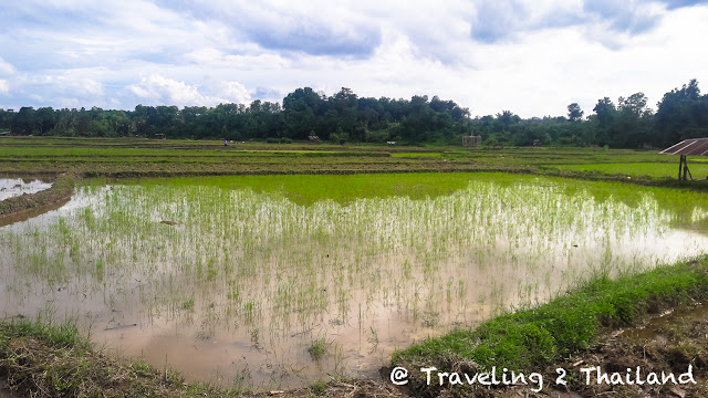 Rice fields in Pua, Nan - Thailand