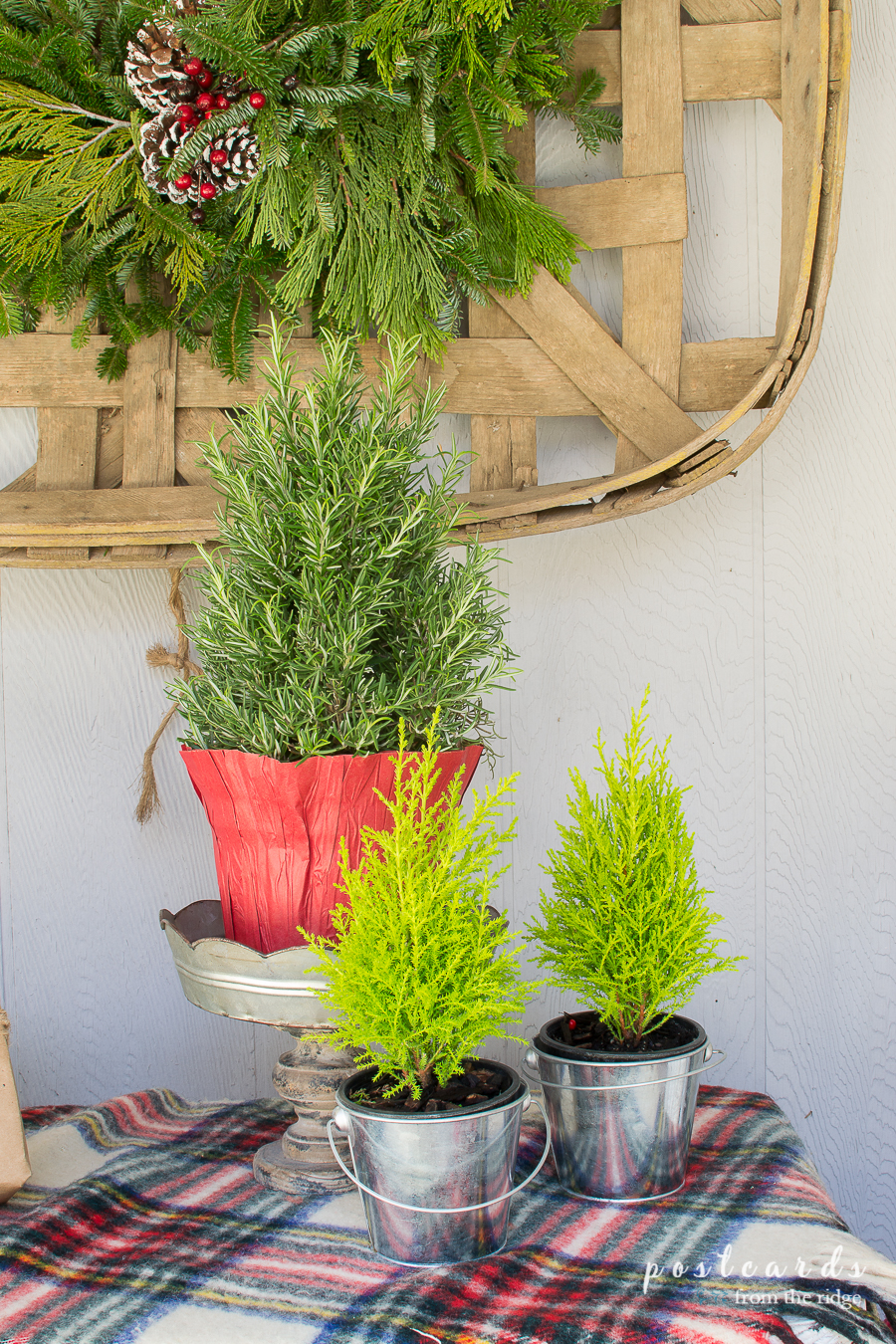 rosemary topiary and mini cypress trees