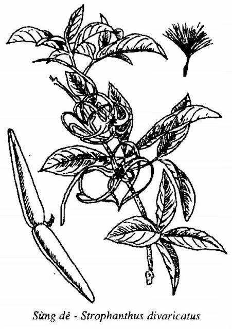 Hình vẽ Cây Sừng Dê - Strophanthus divaricatus - Nguyên liệu làm thuốc Chữa bệnh Tim